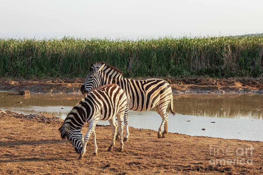 Burchell's zebras, Addo Elephant National Park, South Africa by Patricia Hofmeester