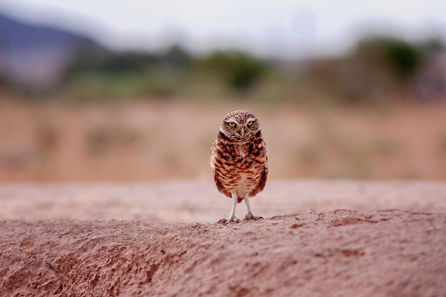 Bird Photograph - Burrowing Owl #2 by Jack and Darnell Est