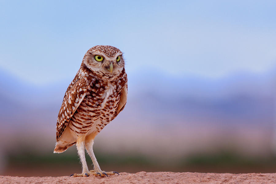 Bird Photograph - Burrowing Owl #3 by Jack and Darnell Est