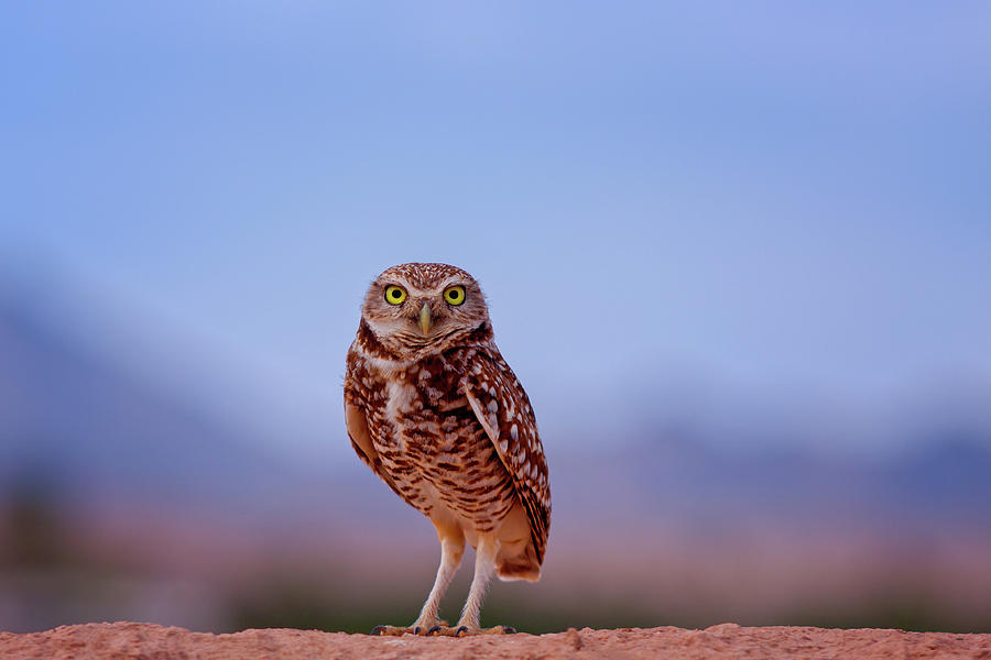 Bird Photograph - Burrowing Owl #4 by Jack and Darnell Est