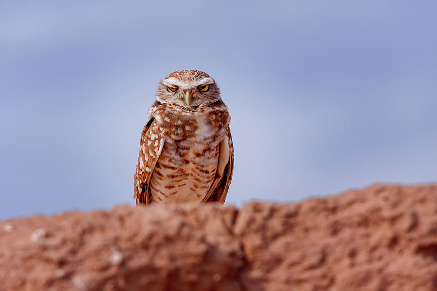 Bird Photograph - Burrowing Owl #5 by Jack and Darnell Est