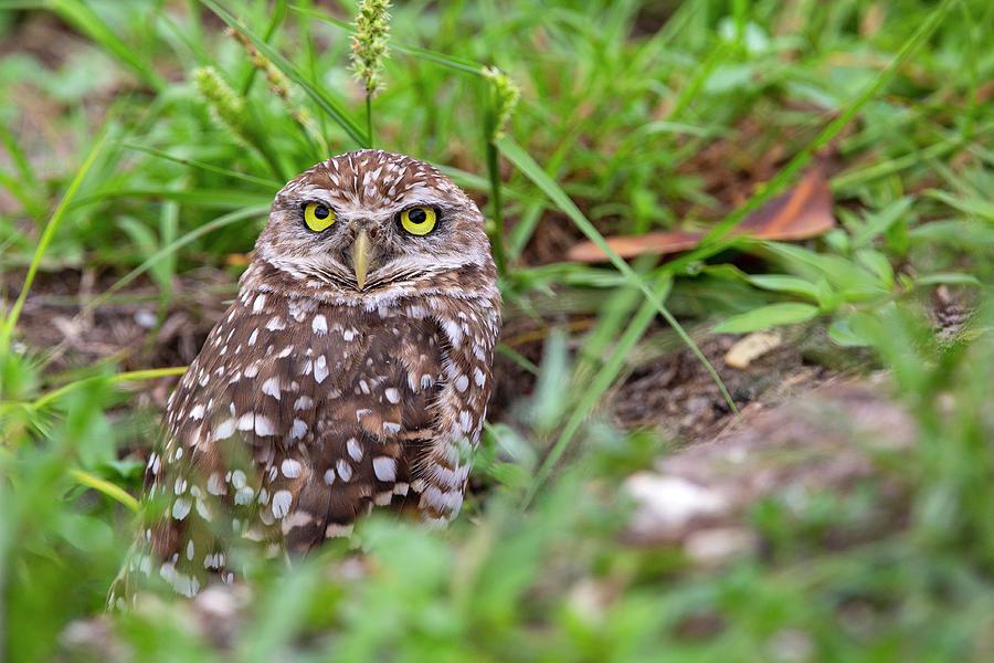 Burrowing Owl Photograph