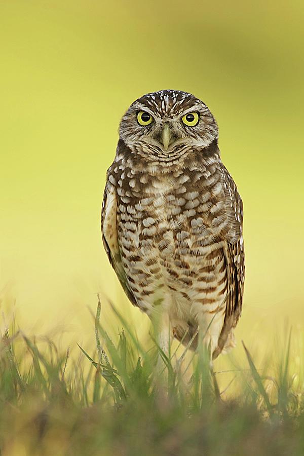 Burrowing Owl At Sunset Photograph
