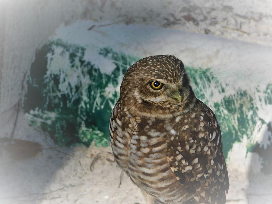 Burrowing Owl by Carl Moore