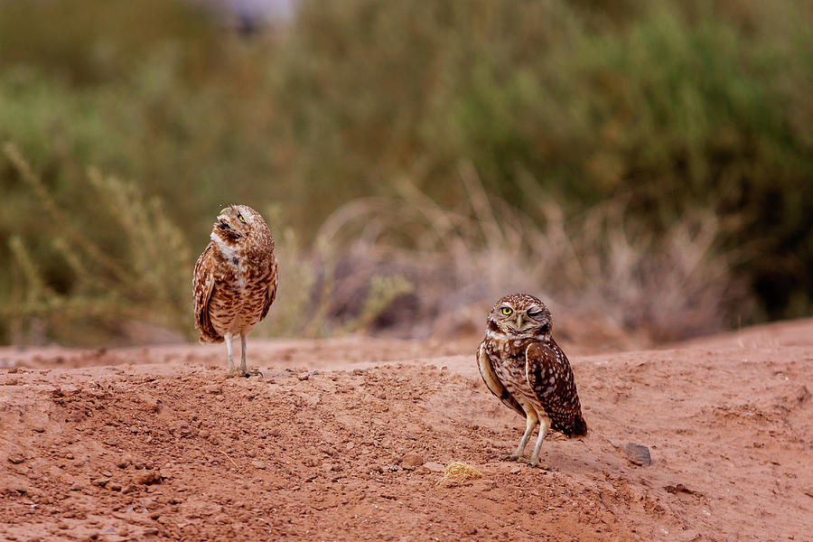 Bird Photograph - Burrowing Owls #7 by Jack and Darnell Est