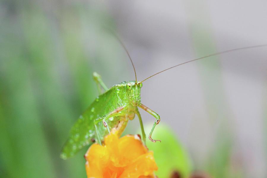 Bush Cricket Photograph