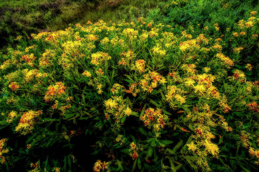 Bush with yellow flowers in Canaan Valley by Dan Friend