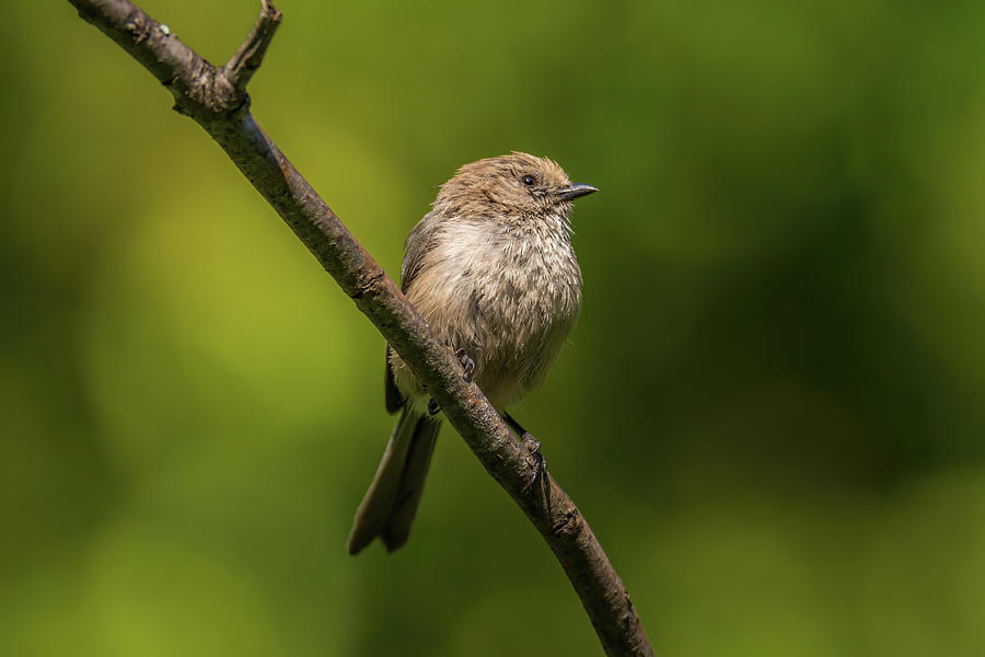 Bushtit With Green Background Photograph