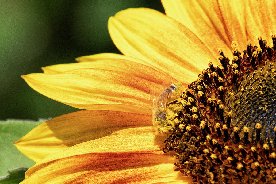 Busy Bee On A Sunflower Photograph