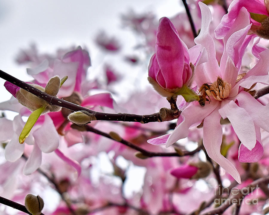 Busy Bee On The Magnolia Photograph