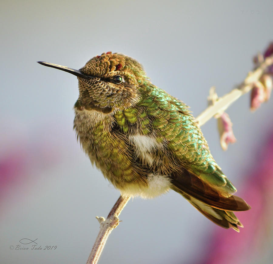 Busy Hummingbird Takes A Rest Photograph