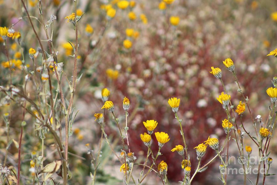 Butter Yellow Wildflowers in Coachella Valley Wildlife Preserve by Colleen Cornelius
