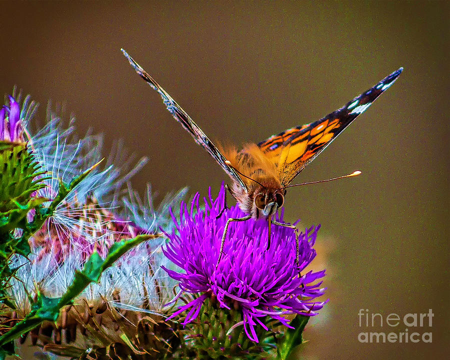 Butterfly Of Spring Photograph