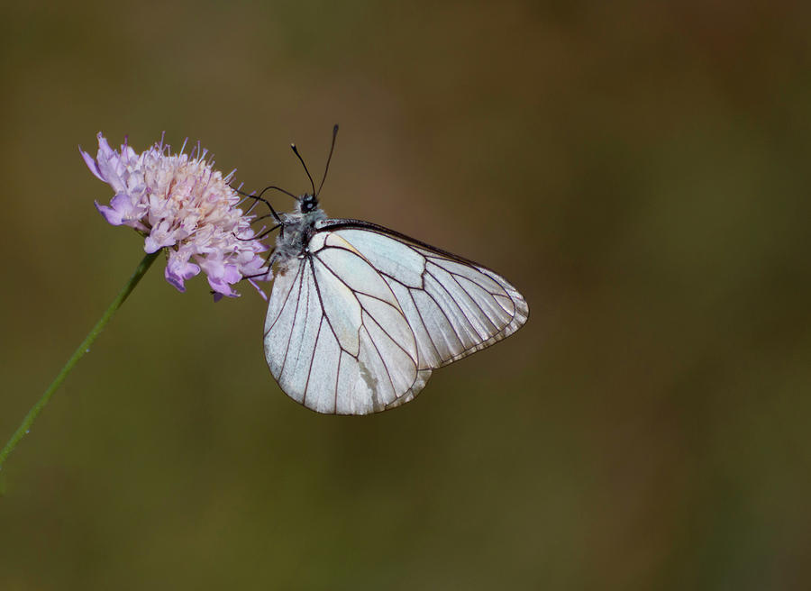 Butterfly on a flower by Pietro Ebner