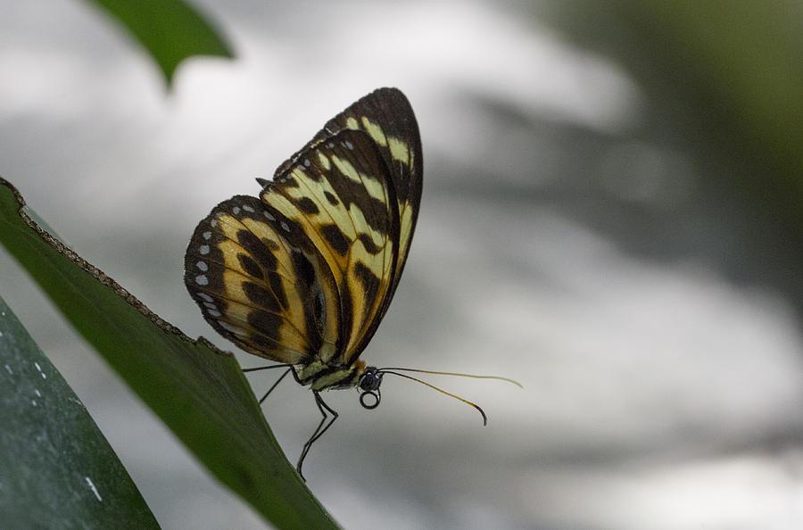 Butterfly Eueides Isabella by Pietro Ebner