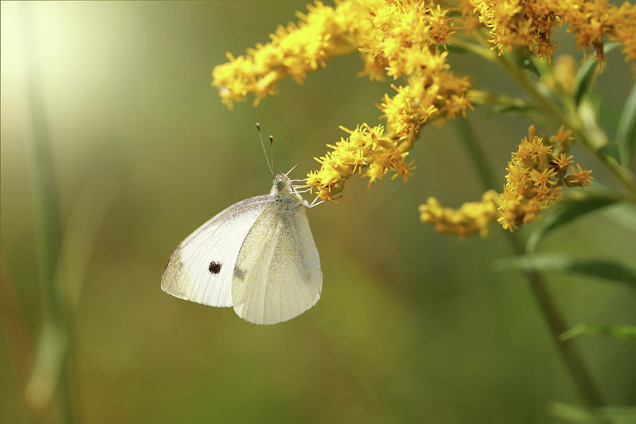 Cabbage White Butterfly Photograph