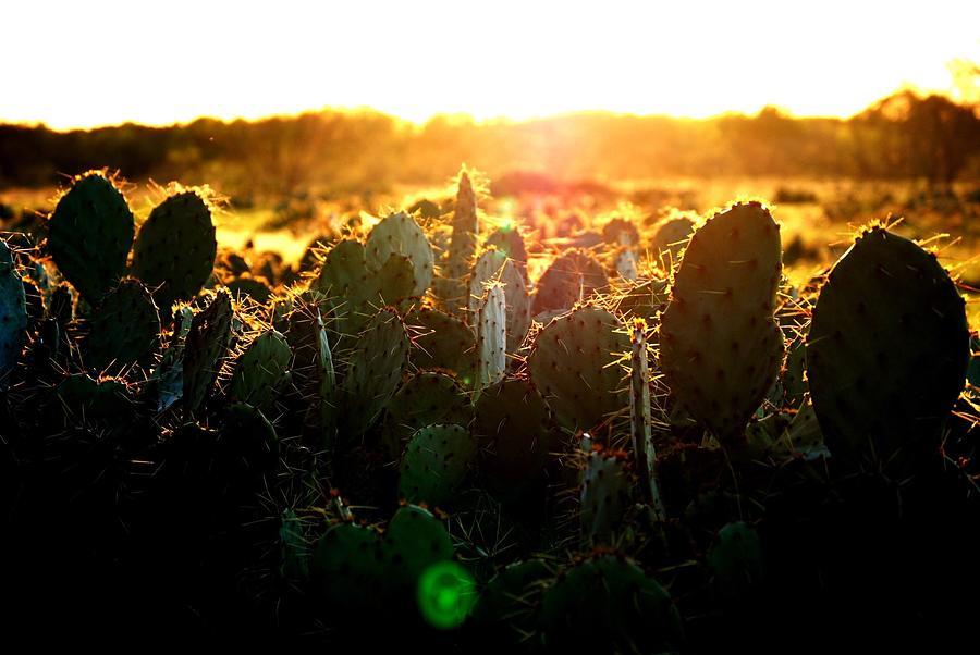 Cactus Growing On Field Against Orange Sky Photograph by Will Walker / EyeEm
