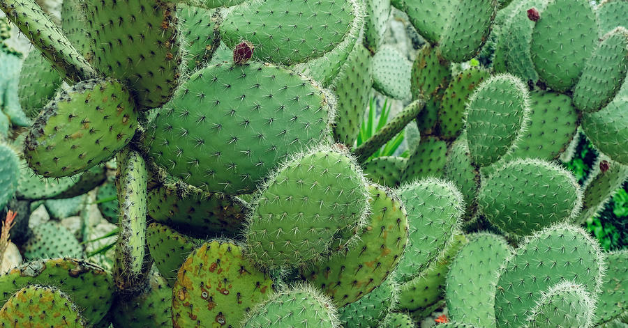 Cactus, Prickly Pear Cactus, Cactus Spines, Close Up Background Photograph