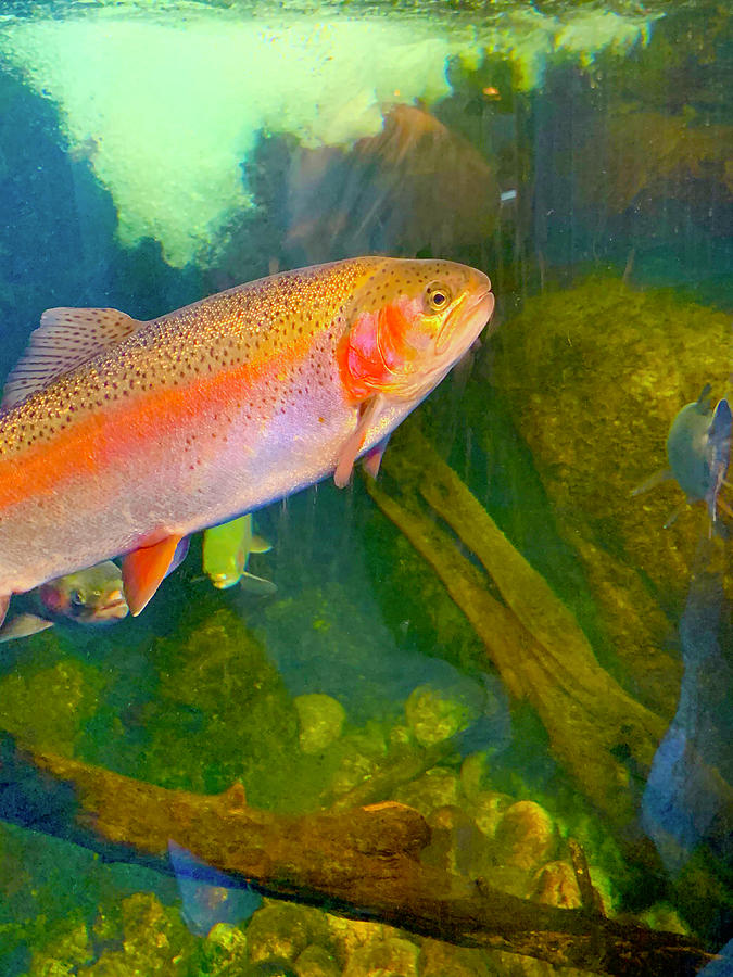 Caged Rainbow Trout Photograph