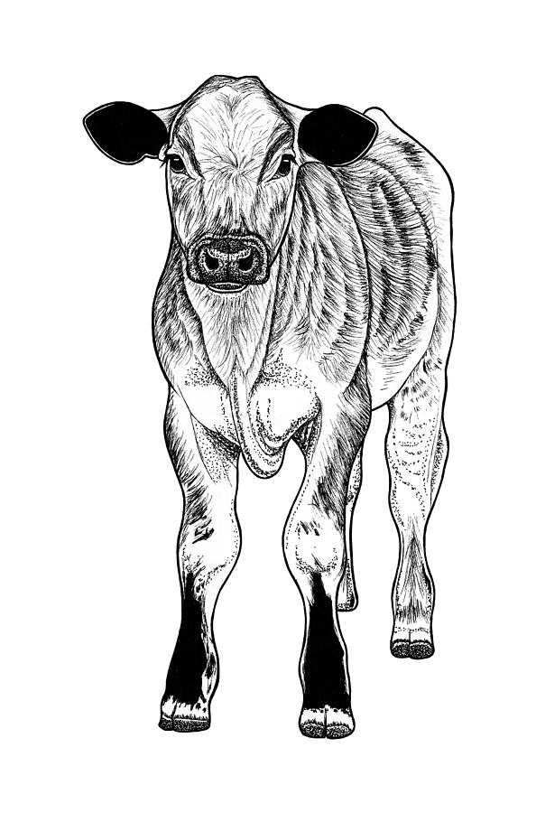 Calf baby cow by Loren Dowding