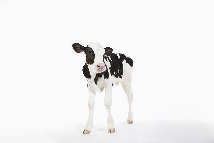 Calf  Photograph by Ichiro