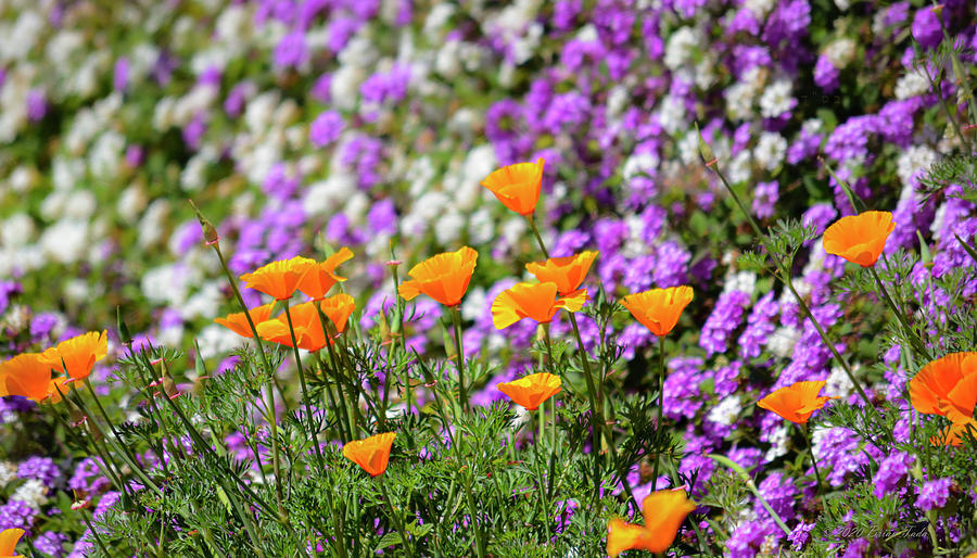 California Poppies And Latana Blossoms Photograph