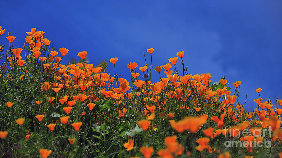 California Poppies at Walker Canyon in Lake Elsinore, California by Sam Antonio Photography