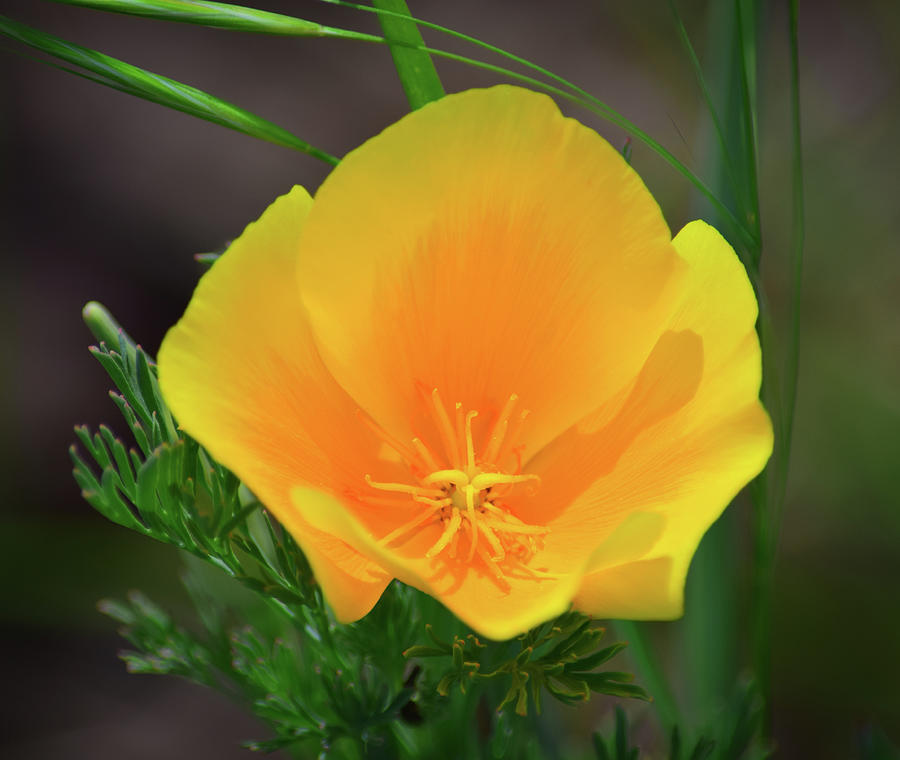 California Poppy - 1 Photograph
