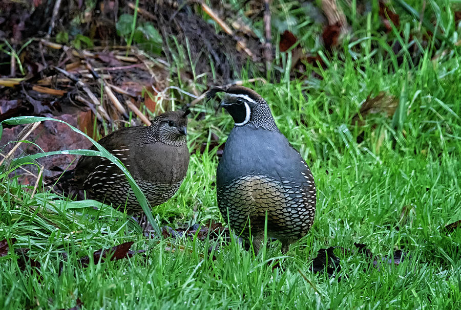 California Quail Photograph