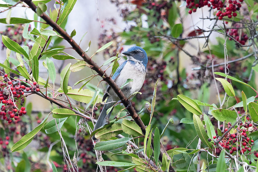 California Scrub-jay In A Toyon Photograph