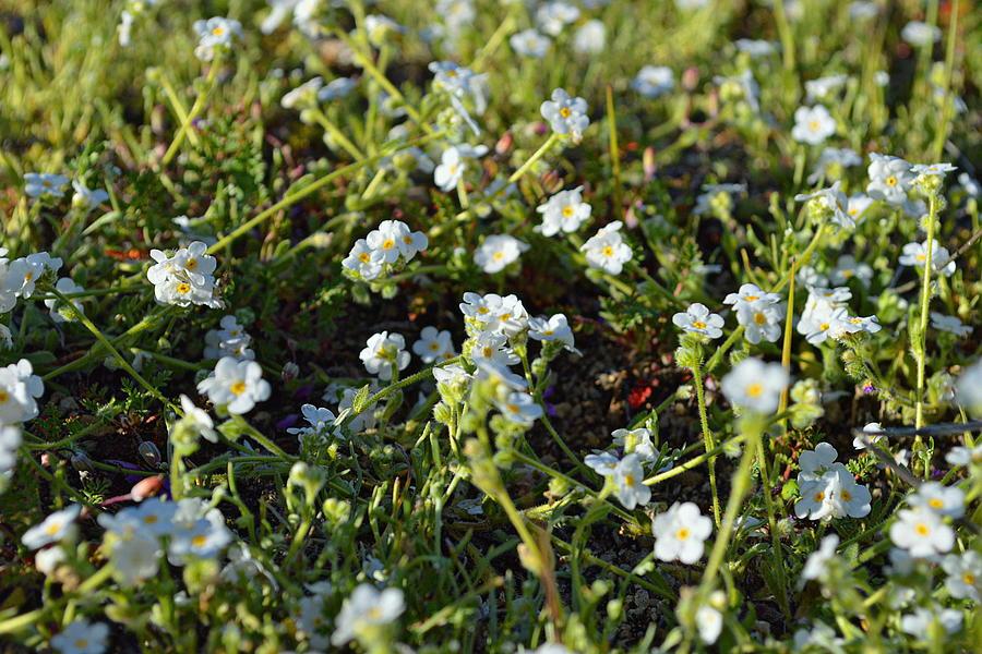 California Wildflowers - Cryptantha by Glenn McCarthy