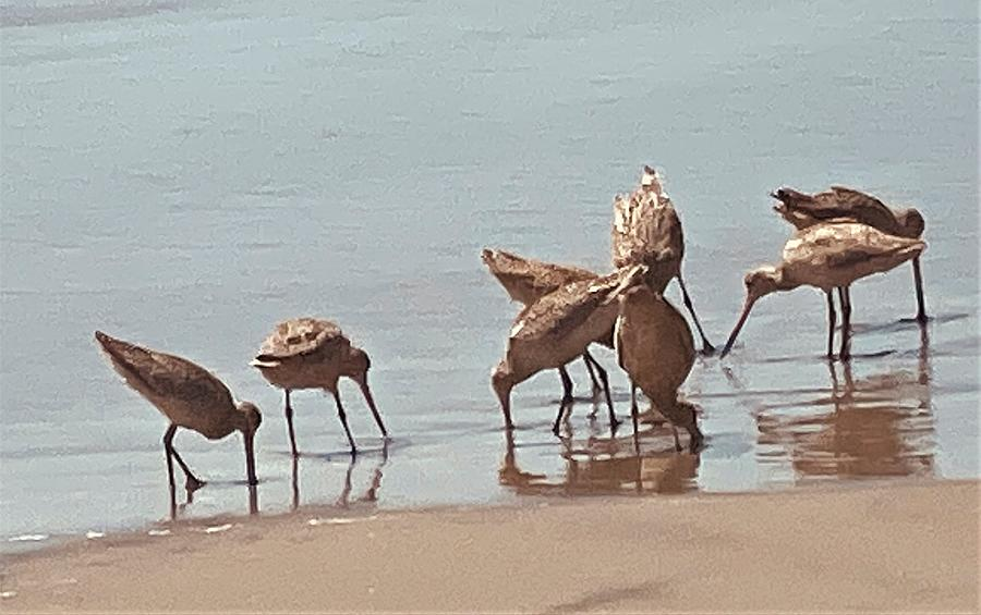 California Willets Photograph
