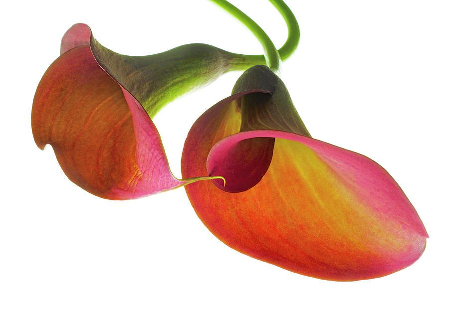 Calla Lilies 1 Photograph