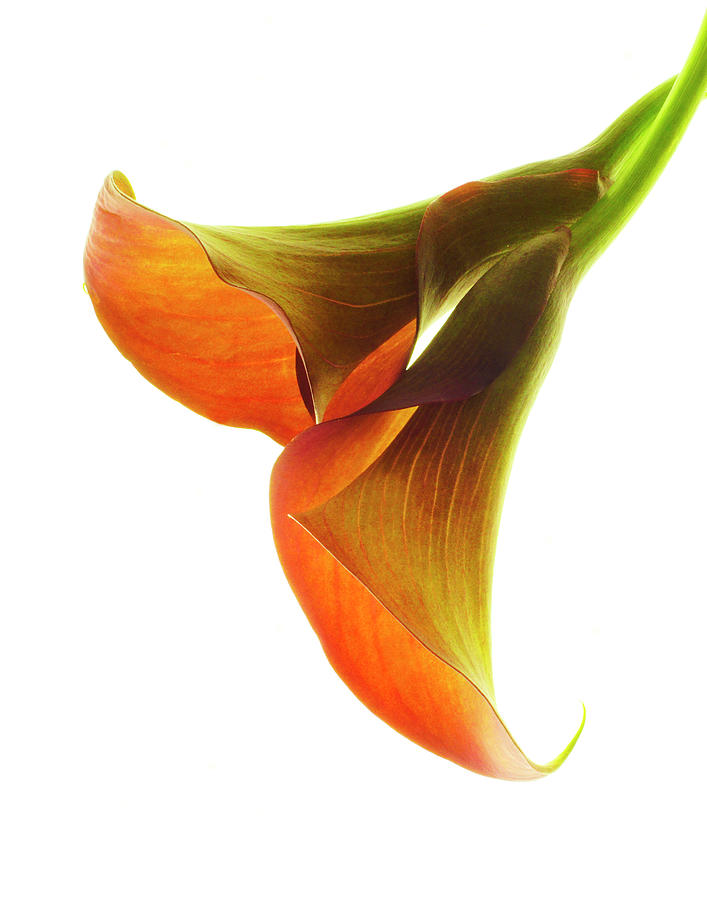 Calla Lilies 2 Photograph