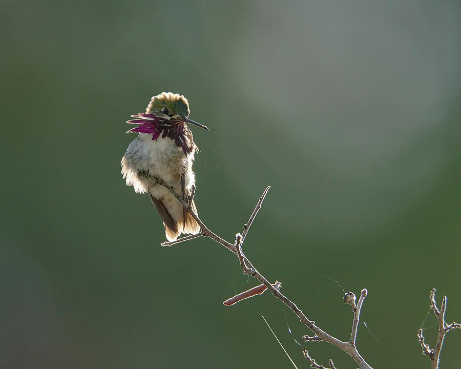 Calliope Hummingbird, El Dorado County California Photograph