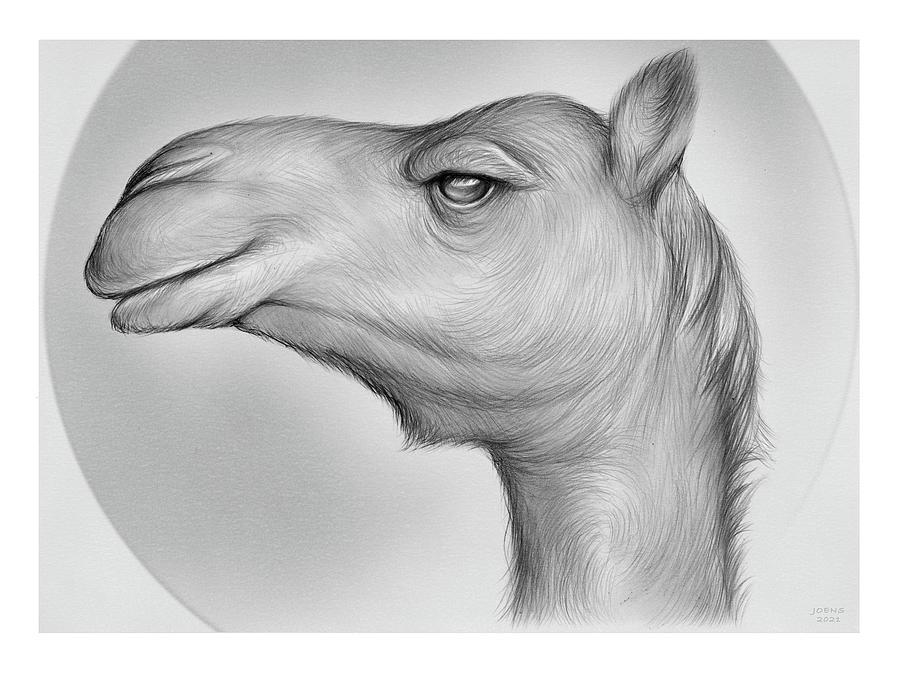 Camel - Pencil Drawing