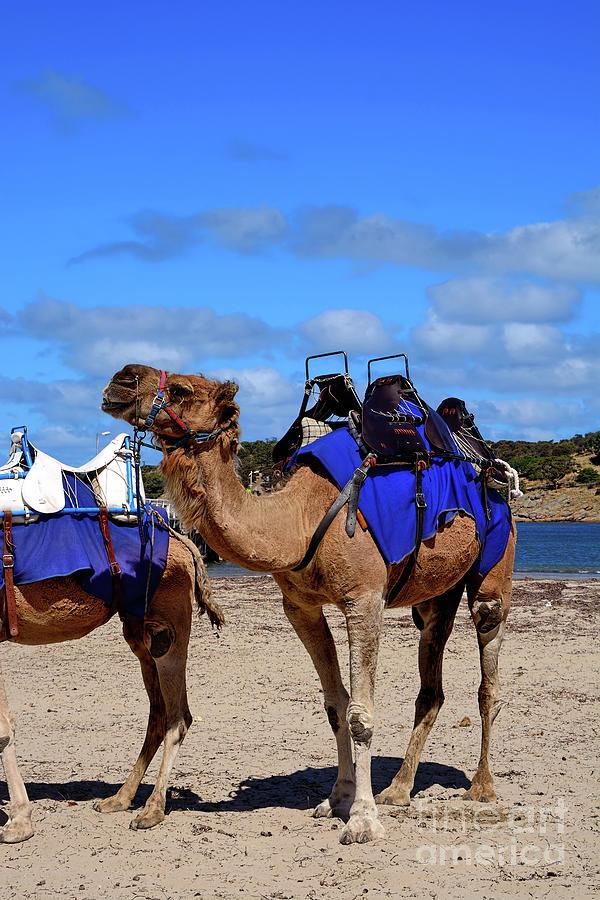 Camel Rides At The Beach By Kaye Menner Photograph