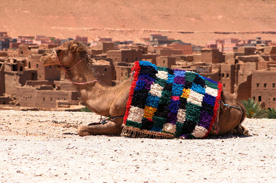 Camel Photograph - Camel Sitting Tinherir Morocco by PIXELS  XPOSED Ralph A Ledergerber Photography