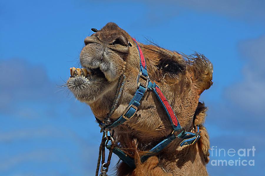 Camel Talk By Kaye Menner Photograph