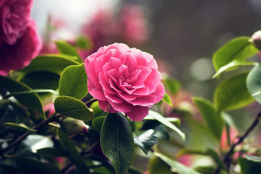 Camellia Flower Tsubaki Photograph By May Lo