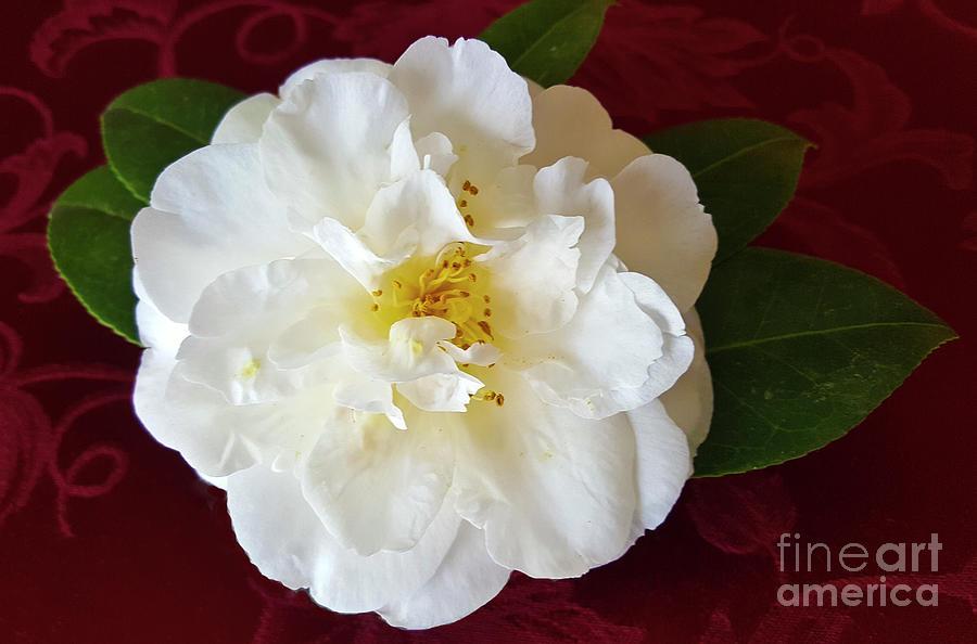 Camellia On Burgundy Photograph