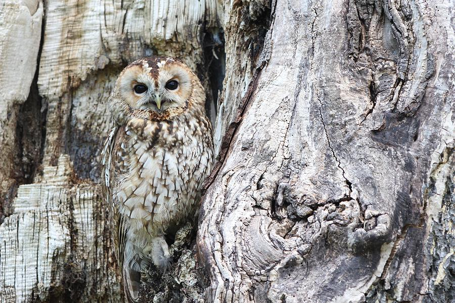 Can You See Me? Camouflage Owl by Joy of Life Arts
