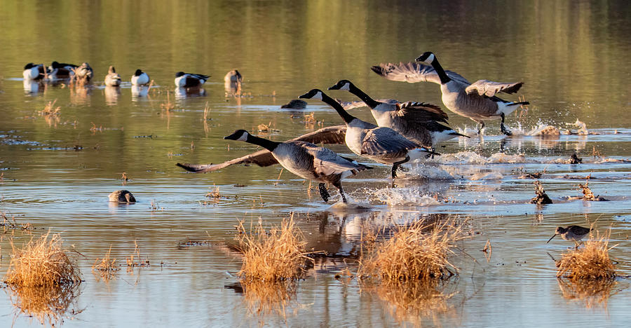 Canada Geese 3711-011120-2 by Tam Ryan