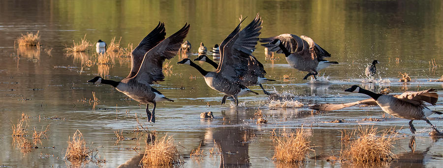 Canada Geese 3714-011120-2 by Tam Ryan