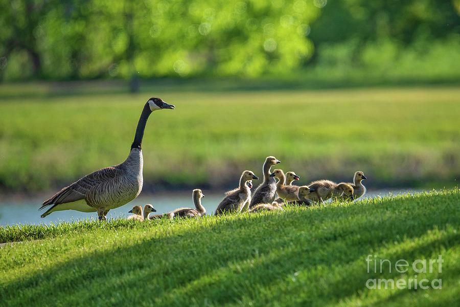 Canada Geese In Spring Photograph