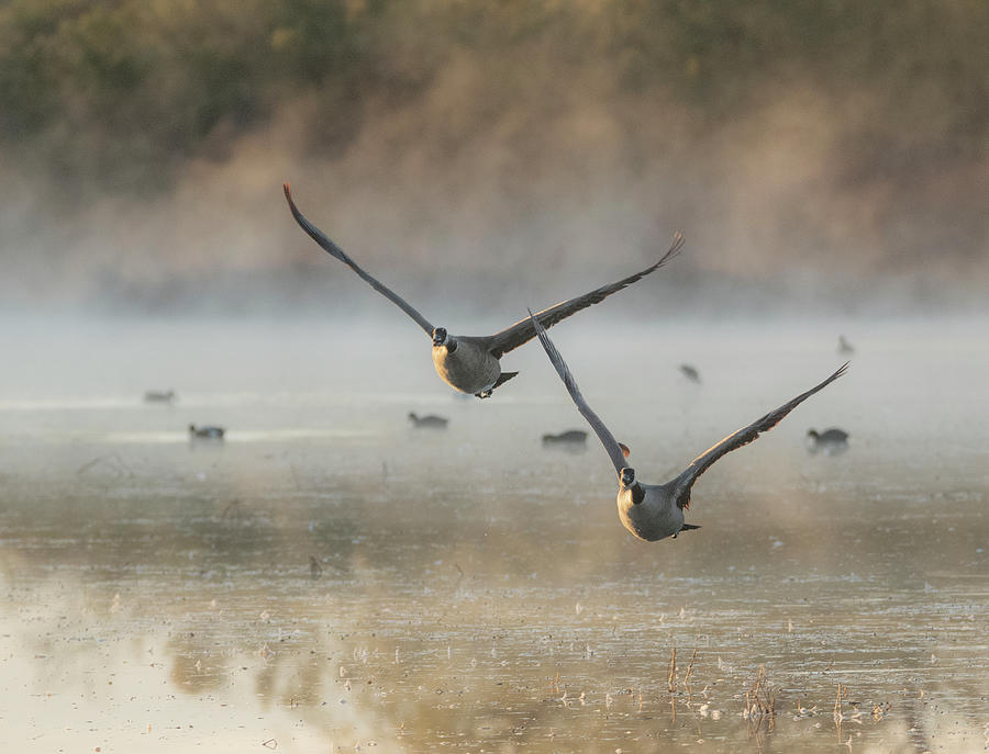 Canada Geese in the Mist 4623-011520-2 by Tam Ryan