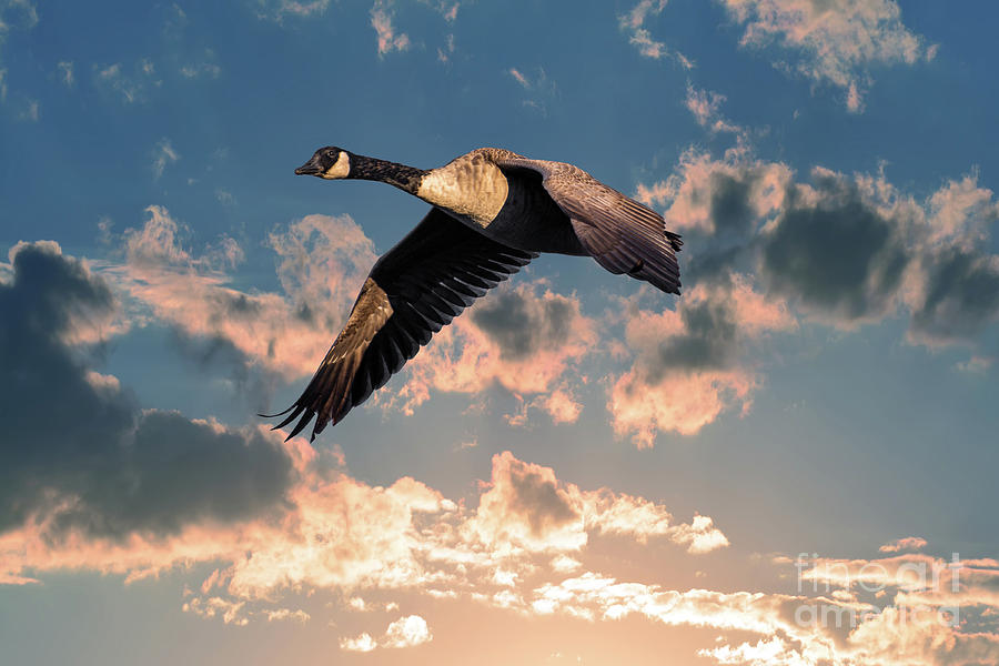 Canada Goose Flying in the Clouds above a sunset sky by Patrick Wolf