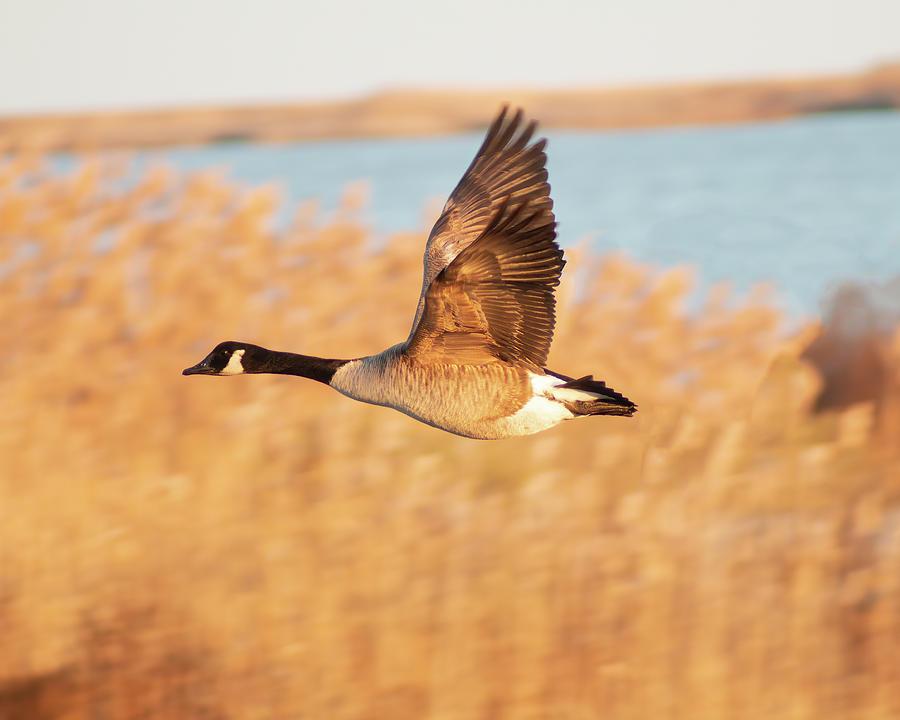 Canada Goose In Flight by Kristia Adams