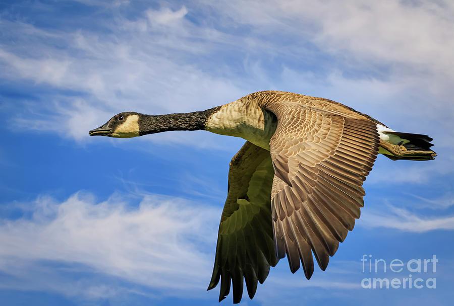 Canada Goose In Flight Photograph