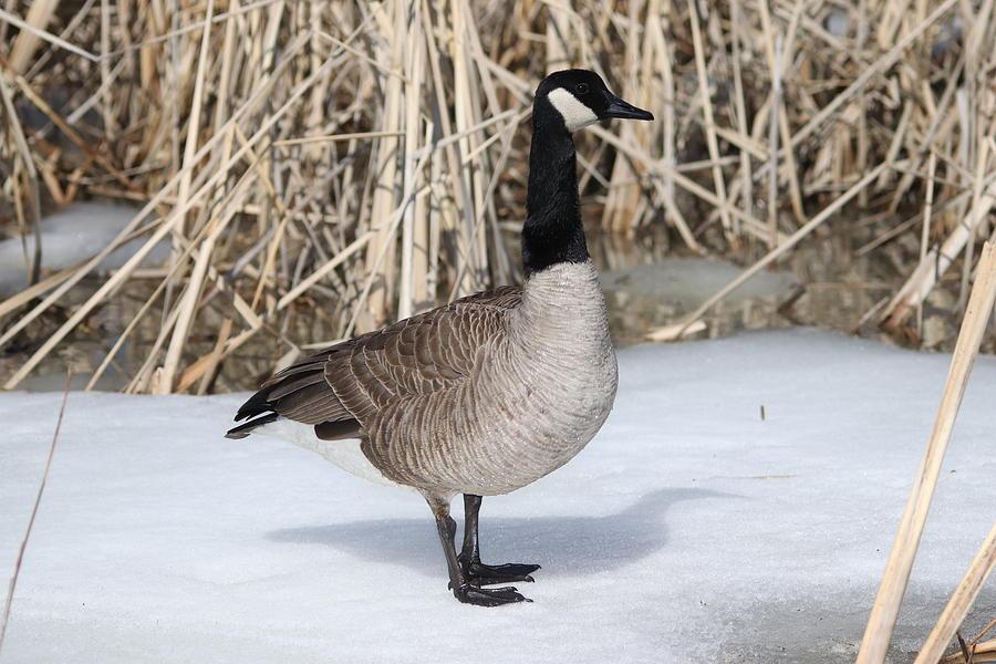 Canada Goose Photograph